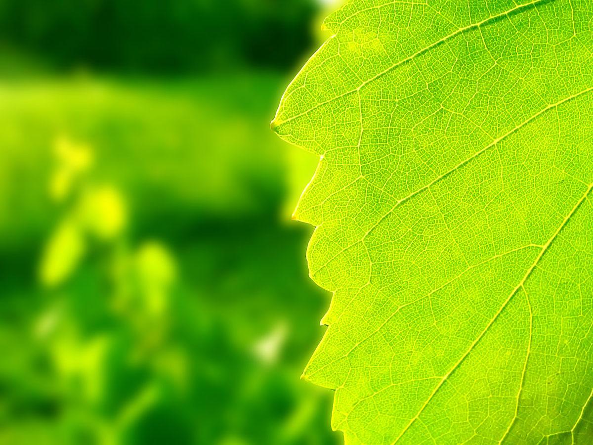 Картинки Лист, дуб, ива, желтый, макро, зеленый обои, фото.