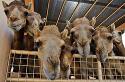 Закят со скота (мазхаб Абу-Ханифы)