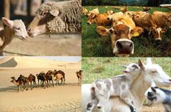 Как выплачивается закят с животных